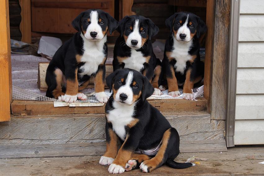 Как выбрать щенка аппенцеллер зенненхунда