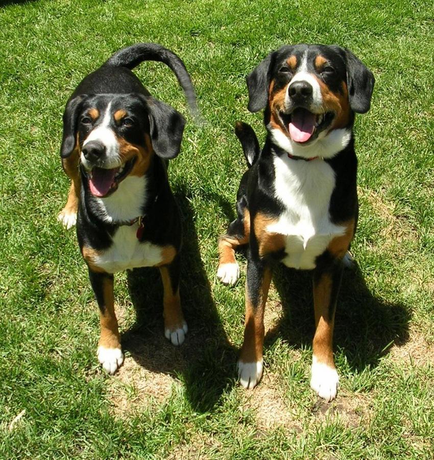 пара аппенцеллеров - вязка собак