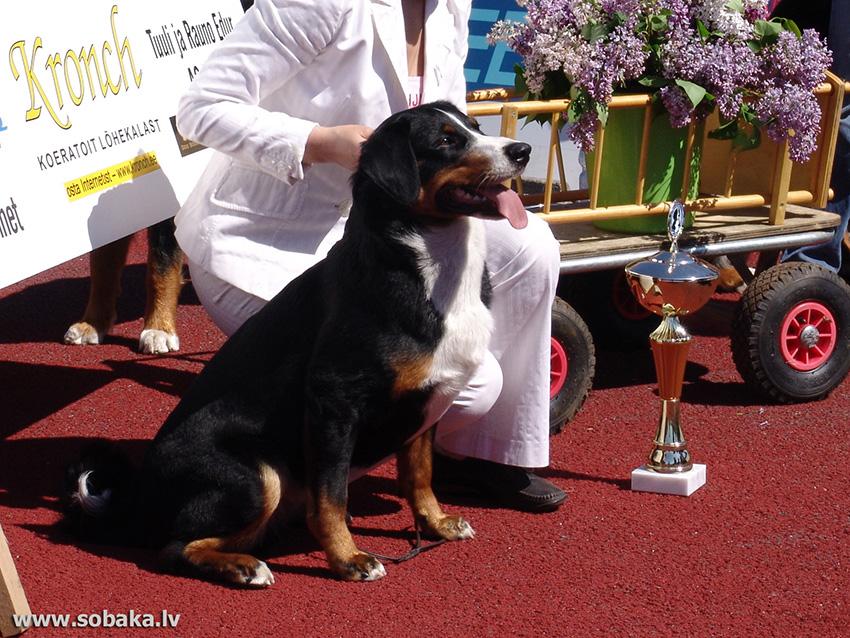 собака аппенцеллер зенненхунд - стандарт породы