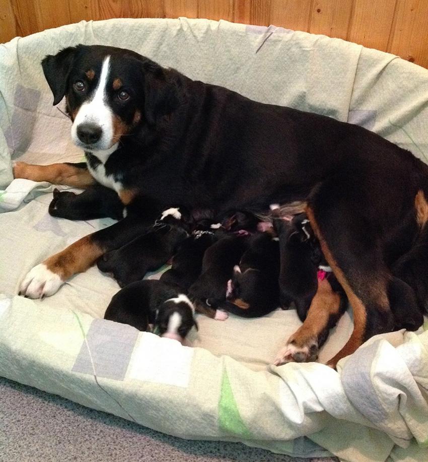 аппенцеллер зенненхунд с щенками