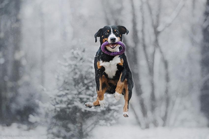 Дрессировка и воспитание аппенцеллер зенненхундов - обучение собак