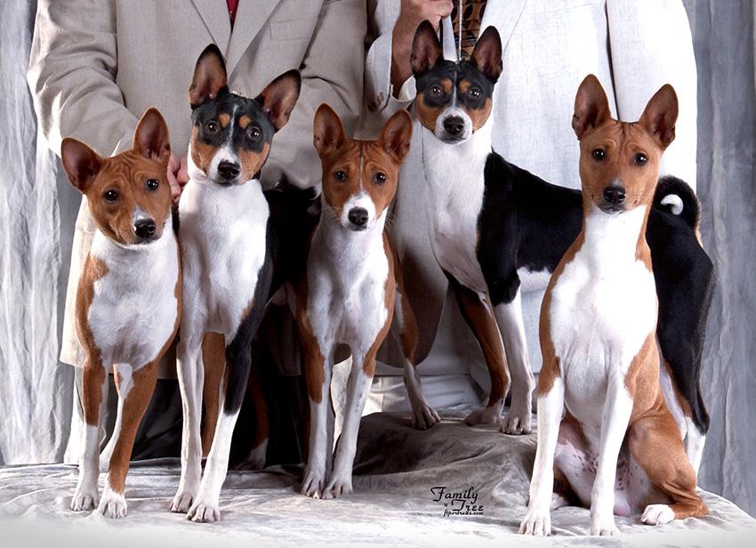Как выбрать собаку породы басенджи