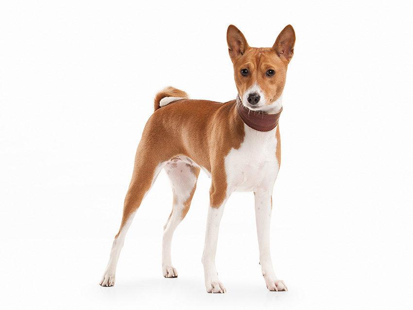 Всё о породе басенджи - фото собак