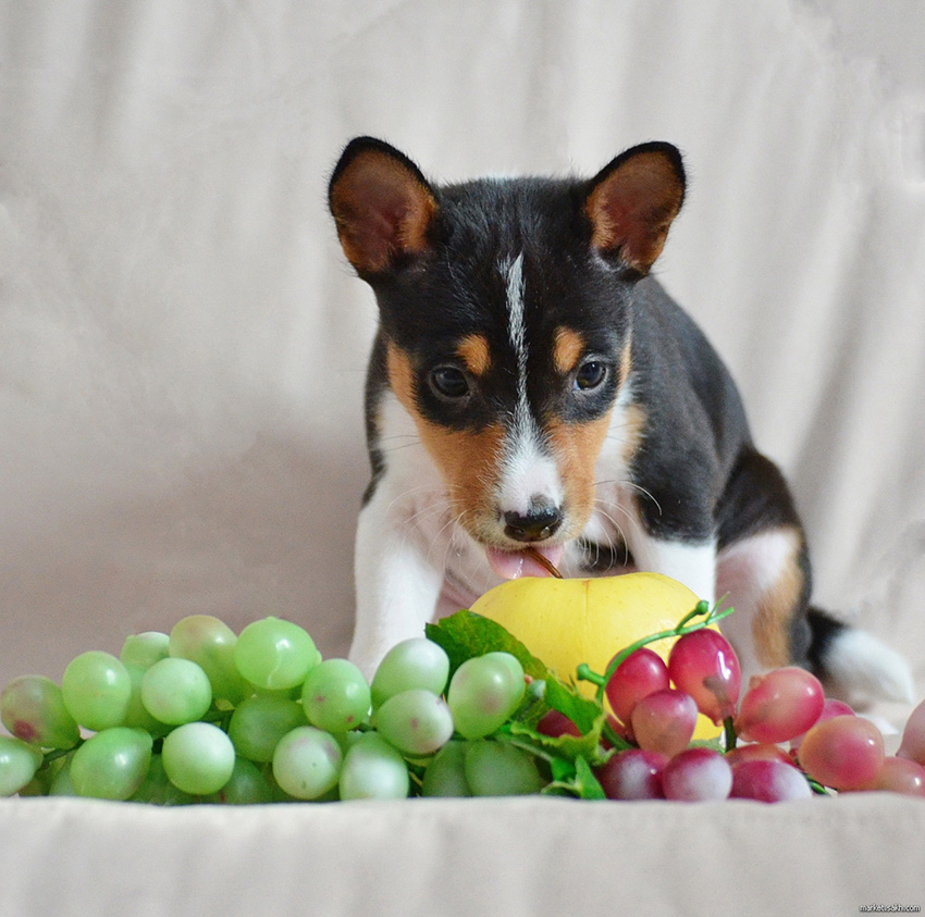 Питание басенджи - чем кормить собаку, что ест