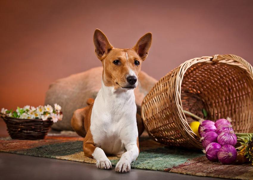 Содержание басенджи и уход за собаками