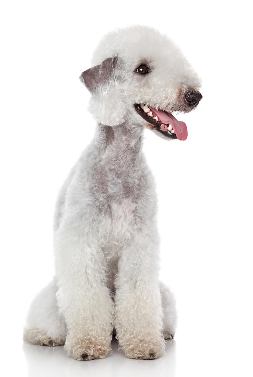 Всё о породе бедлингтон-терьер - фото собаки, описание породы бедлингтон-терьер, характер, содержание и уход