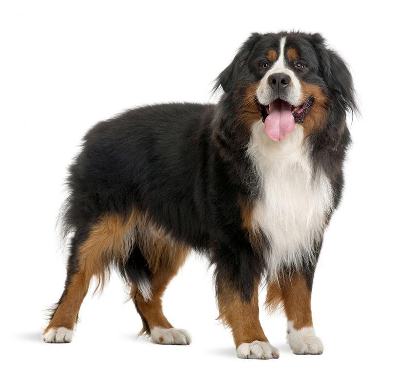 Всё о породе Бернский зенненхунд - фото собаки, описание породы Бернский зенненхунд, характер, содержание и уход бернской овчарки