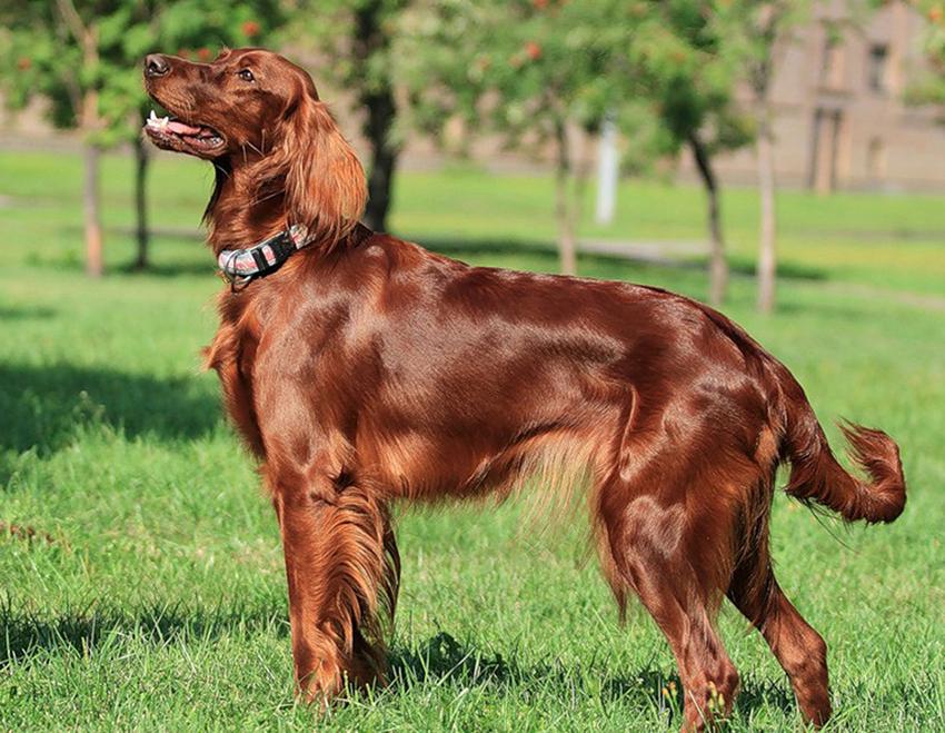 Прогулка с ирландским сеттером - сколько надо гулять с собакой