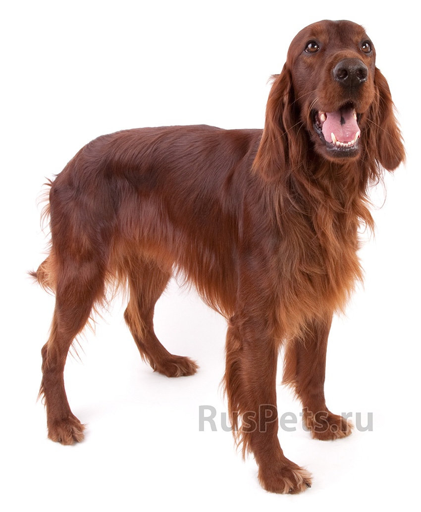 Всё о породе ирландский сеттер - фото собаки, описание породы ирландский красный сеттер, характер, содержание и уход