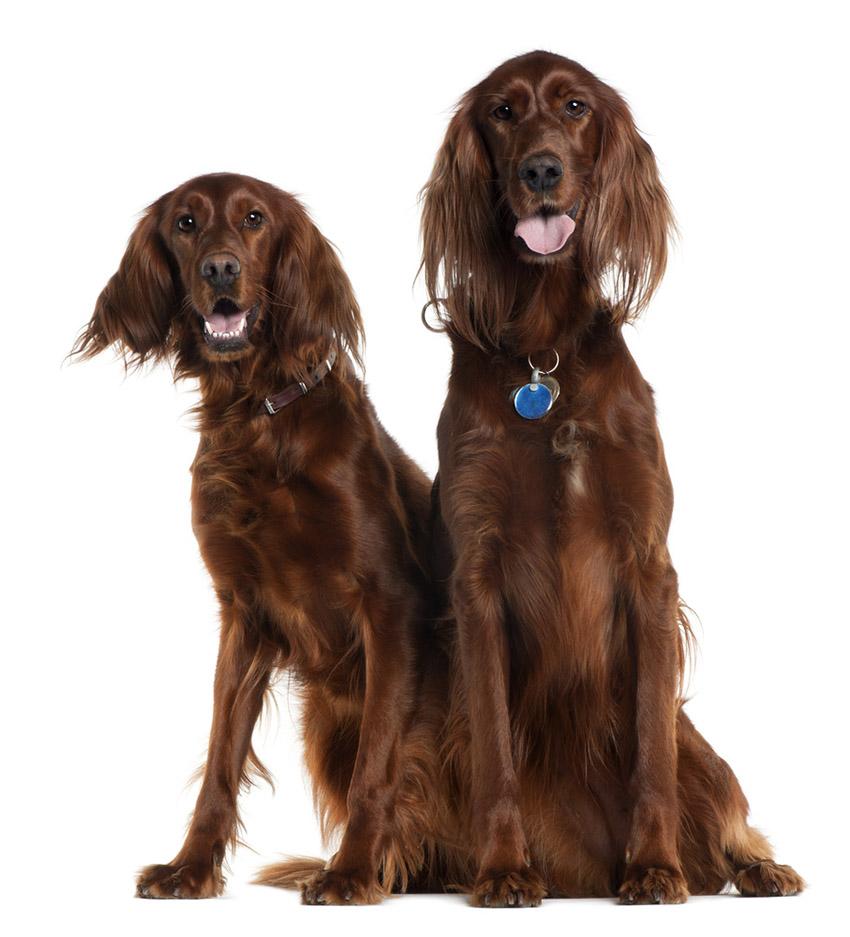 На фото пара ирландских сеттеров красных - вязка собак