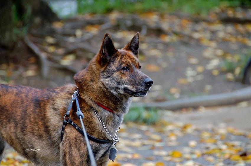 Всё о породе каи - фото собаки, описание породы кай, характер, содержание и уход