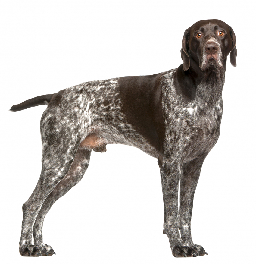 Всё о породе курцхаар - фото собаки, описание породы курцхаар, характер, содержание и уход за немецким пойнтером
