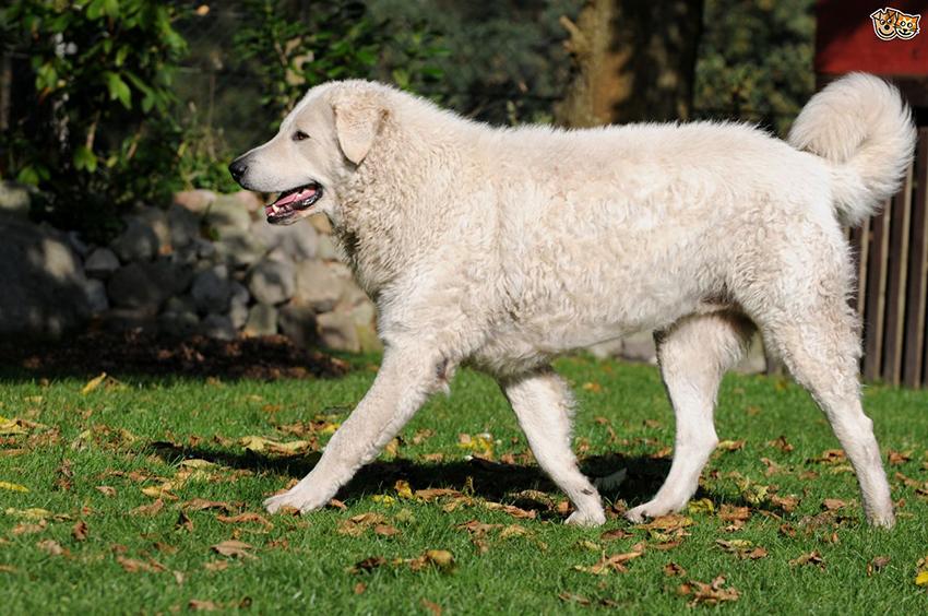 История собак породы кувас
