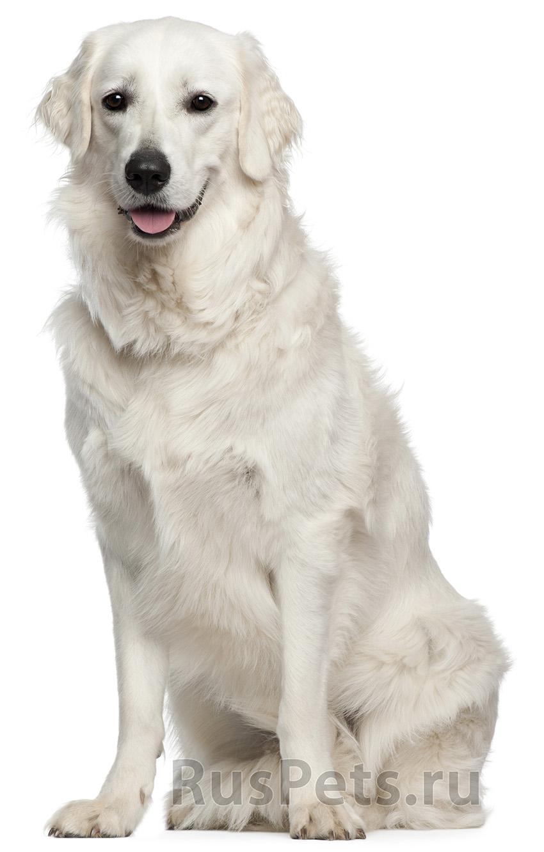 Всё о породе венгерский кувас - фото собаки, описание породы кувас, характер, содержание и уход