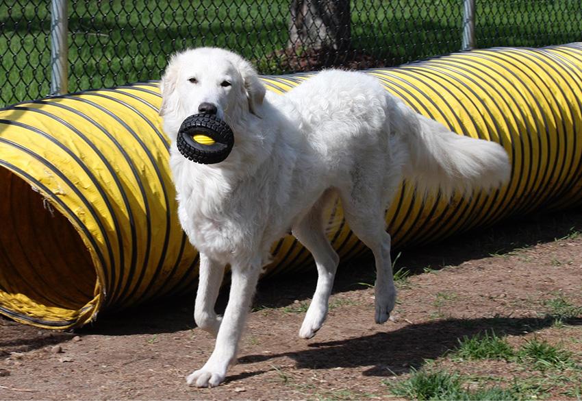 Дрессировка венгерского куваса и дрессировка собак