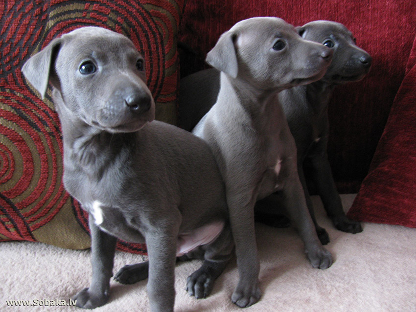 Выбор щенка левретки