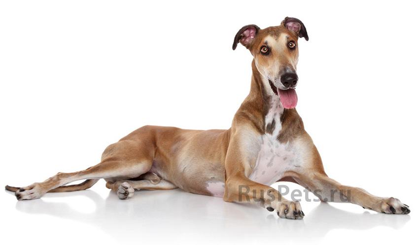 Всё о породе левретка - фото собаки, описание породы левретка, характер, содержание и уход за малой итальянской борзой