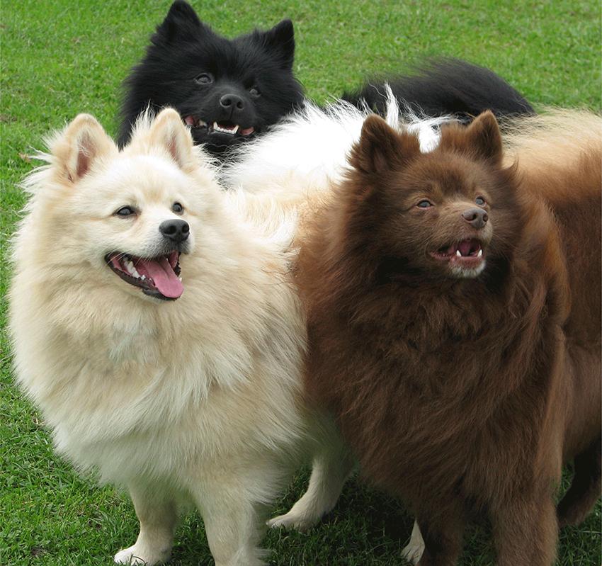 Окрас собак породы немецкий шпиц