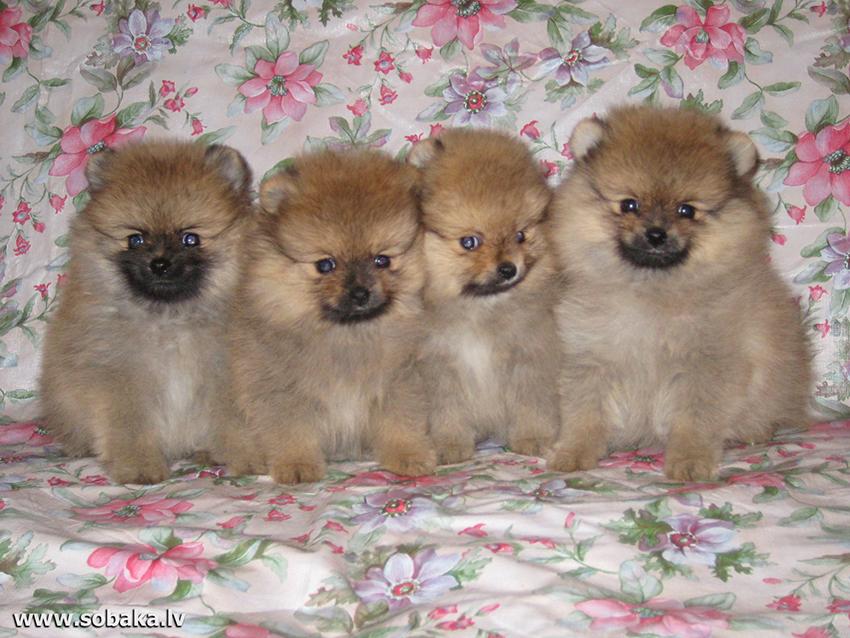 как выбрать щенка собаки породы немецкий шпиц