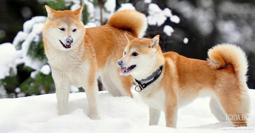 дрессировка сансю и воспитание собаки