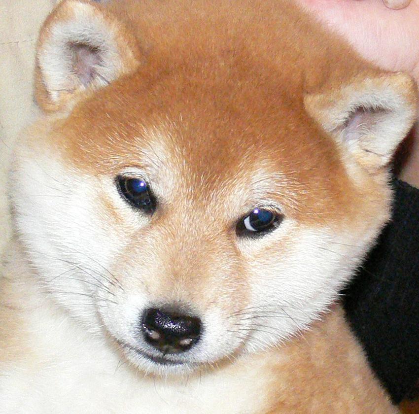 характер собаки сансю