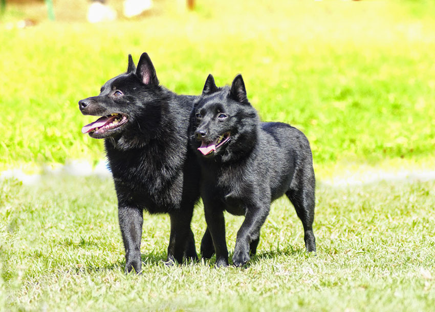 Пара шипперке - вязка собак