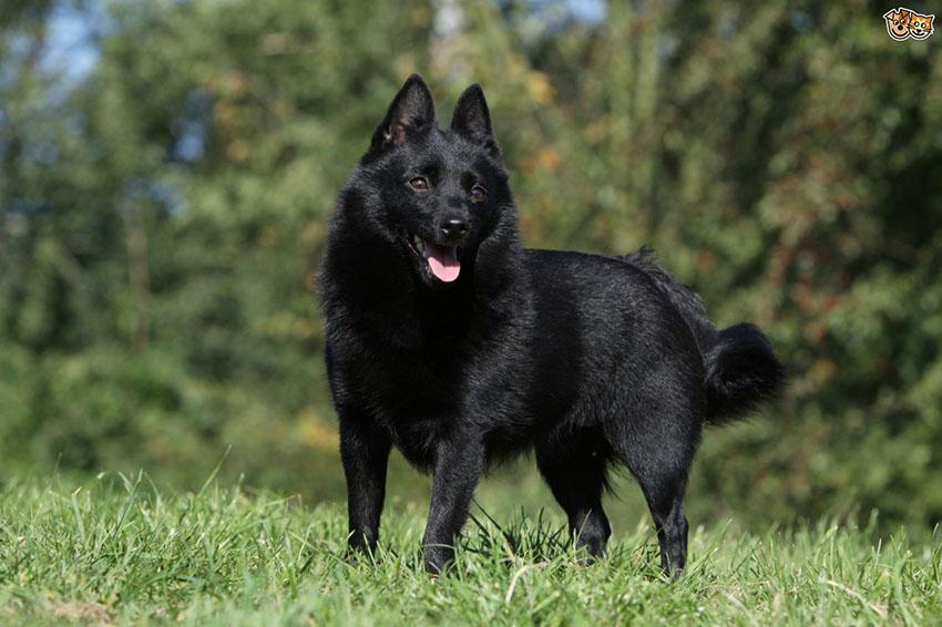 История собак породы шипперке