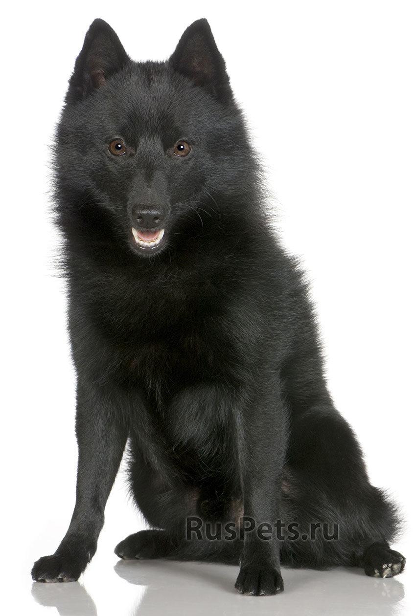 Всё о породе шипперке - фото собак