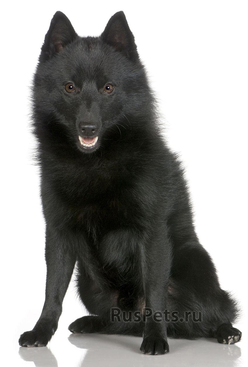 Всё о породе шипперке - фото собаки, описание породы шипперке, характер, содержание и уход