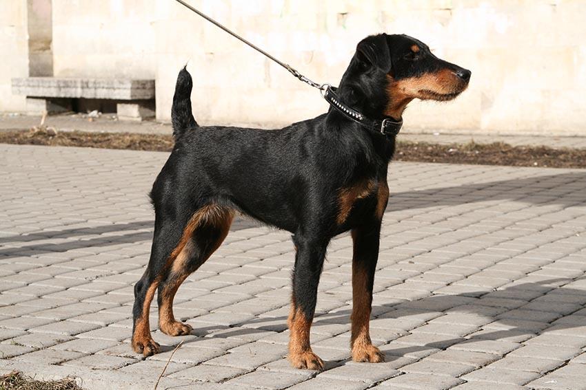 История собак породы ягдтерьер