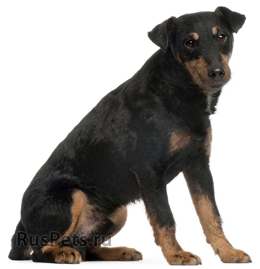 Всё о породе немецкий ягдтерьер - фото собаки, описание породы ягдтерьер, характер, содержание и уход
