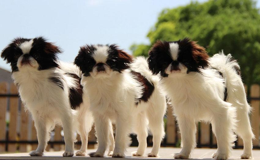 Выбор щенка породы японский хин