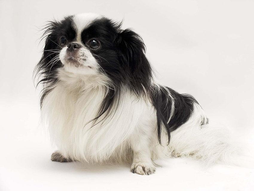 Всё о породе японский хин - фото собаки, описание породы японский хин, характер, содержание и уход