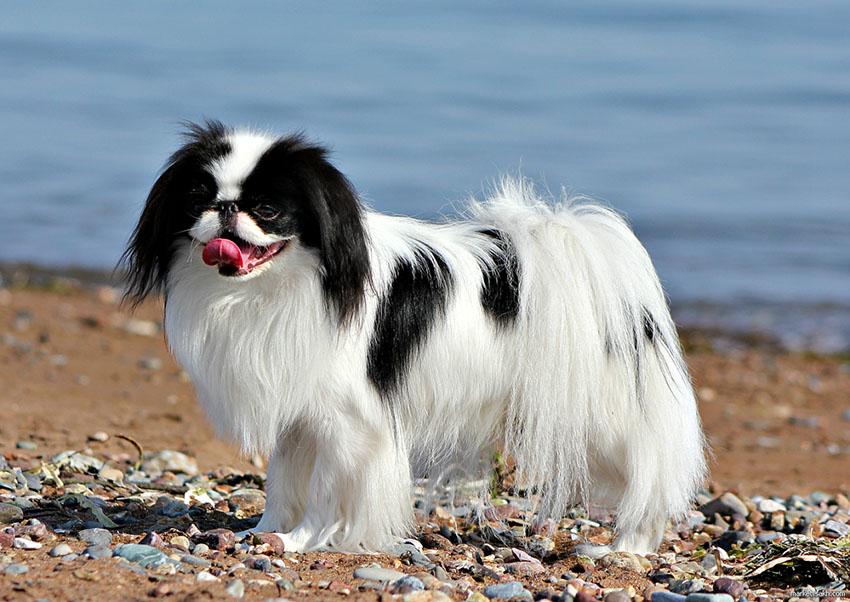 Описание собаки породы японский хин, характеристики