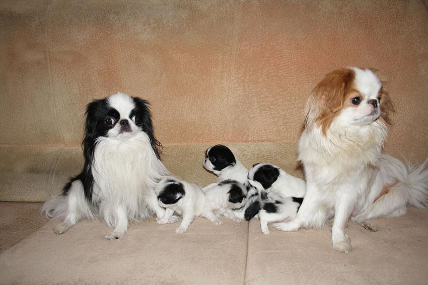 Семейство японских хинов