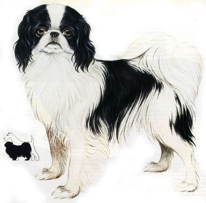 Стандарт породы собак японский хин