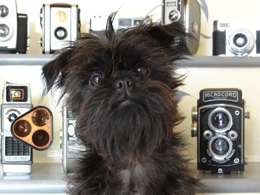 Характер собак породы аффенпинчер