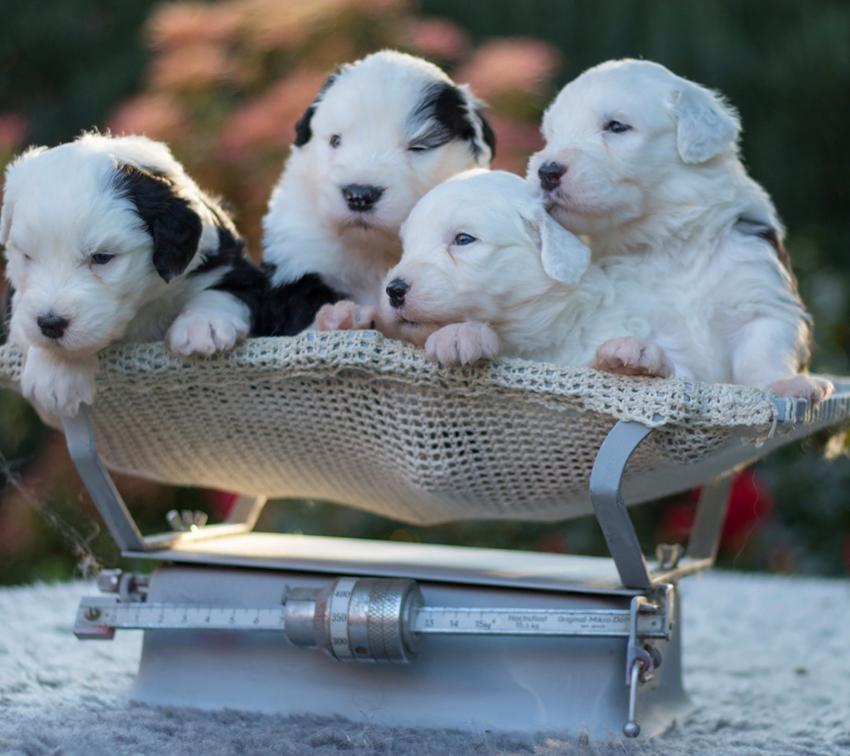 Выбор щенка бобтейла