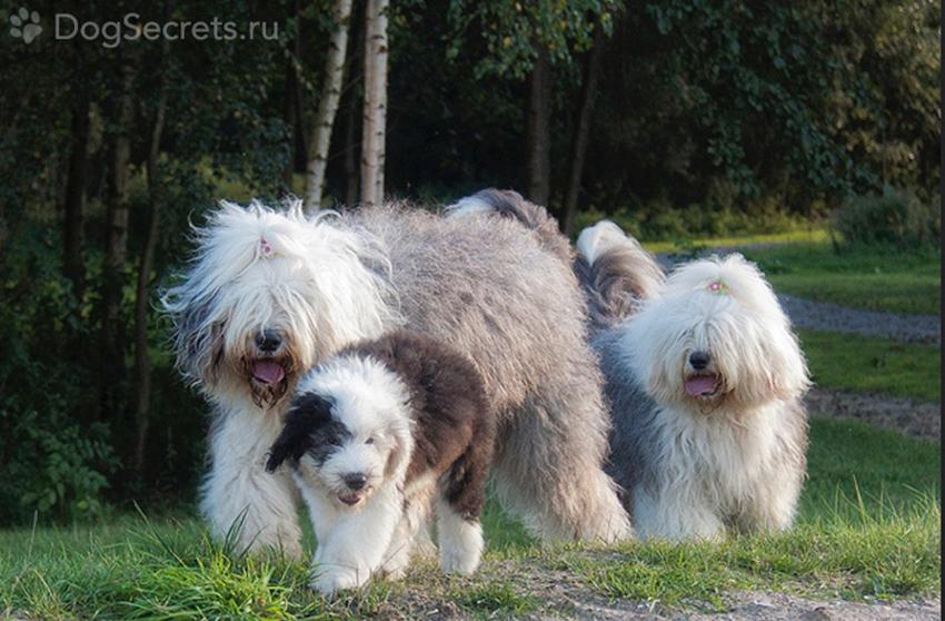 Семейство бобтейлов