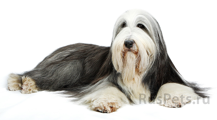 Всё о породе бобтейл - фото собаки, описание породы бобтейл, характер, содержание и уход за Староанглийскими овчарками