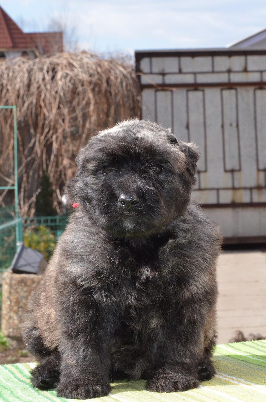 Выбор щенка фландрского бувье