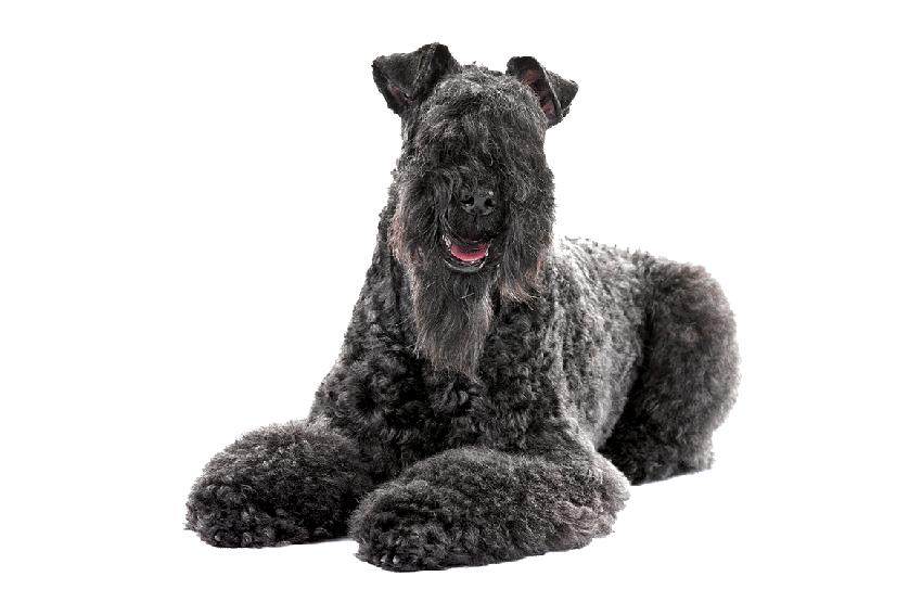 Всё о породе керри-блю-терьер - фото собаки, описание породы керри-блю-терьер, характер, содержание и уход за голубыми терьерами
