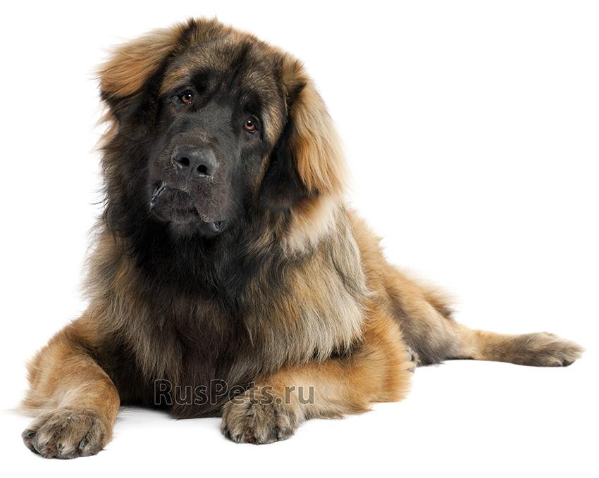 Всё о породе Леонбергер - фото собаки, описание породы Леонбергер, характер, содержание и уход