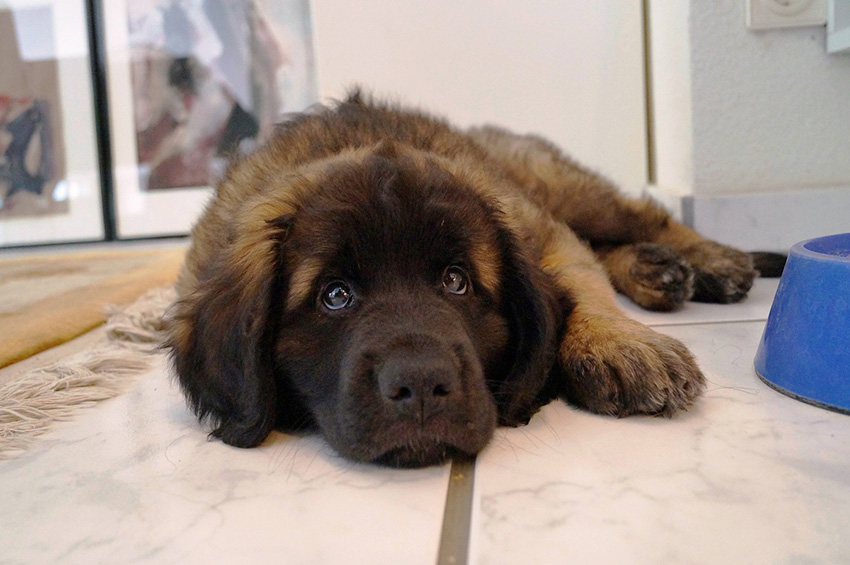 содержание леонбергеров и уход за собаками