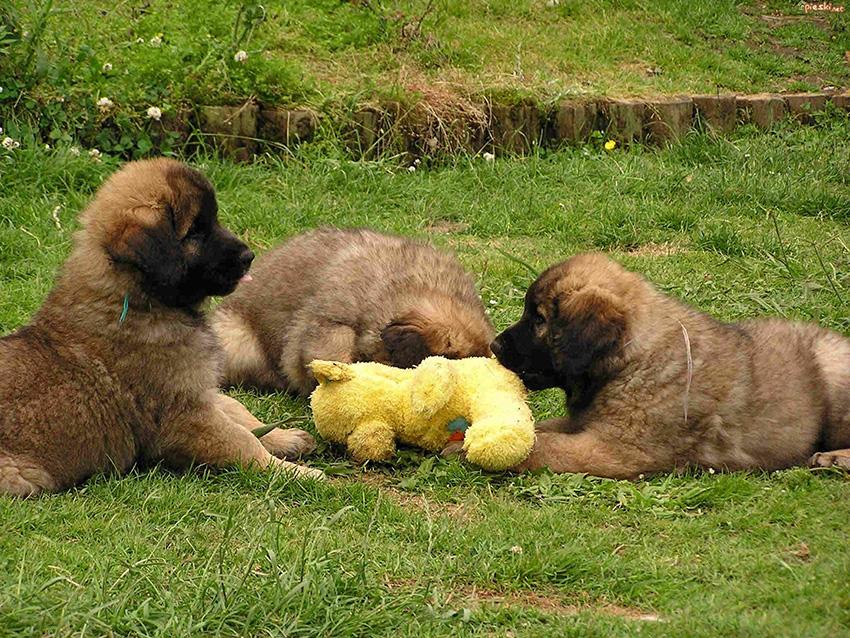 Выбор щенка леонбергера - как правильно выбрать