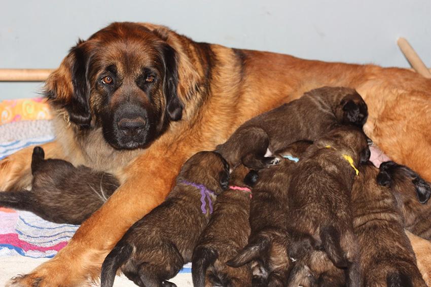 Мама с щенками леонбергерами