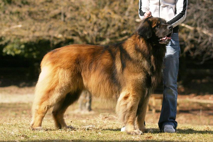 История собак породы леонбергер