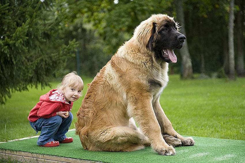 На фото собака Леонбергер и дети