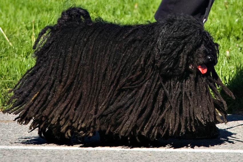 История породы собак пули