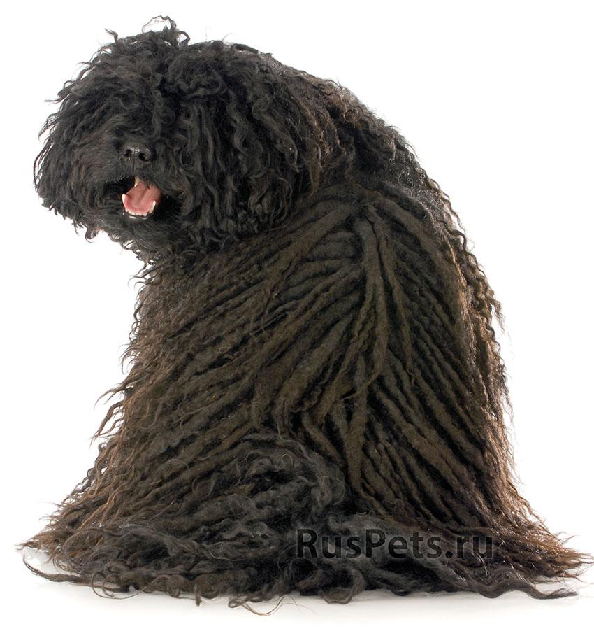 Всё о породе пули - фото собаки, описание породы пули, характер, содержание и уход